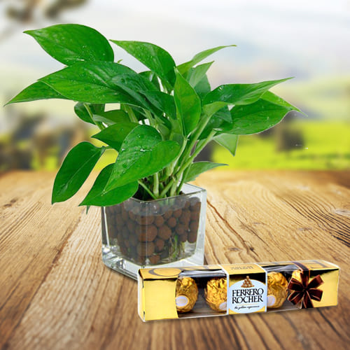 Attractive Gift of Money Plant in Glass Vase with Ferrero Rocher Chocolates