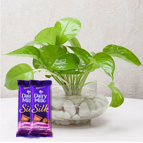 Delightful Combo of Money Plant with Yummy Cadbury Dairy Milk Silk<br>