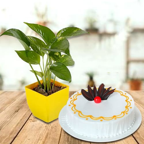Eye-Catching Present of Money Plant in Plastic Pot with Yummy Vanilla Cake<br>