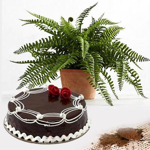 Exquisite Air Purifying Live Plant with Chocolate Cake